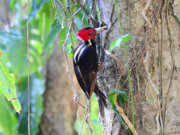 Pale-billed woodpecker (Campephilus guatemalensis)