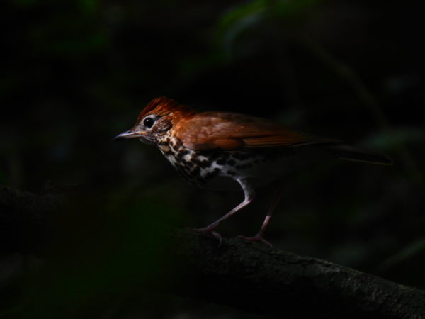 Wood thrush (Hylocichla mustelina)