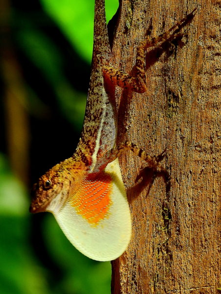 Brown Common Anole (Norops polylepis)