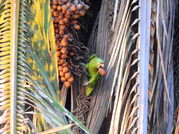 parrot with palm kernel