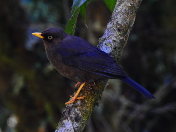 Sooty thrush (Turdus nigrescens)