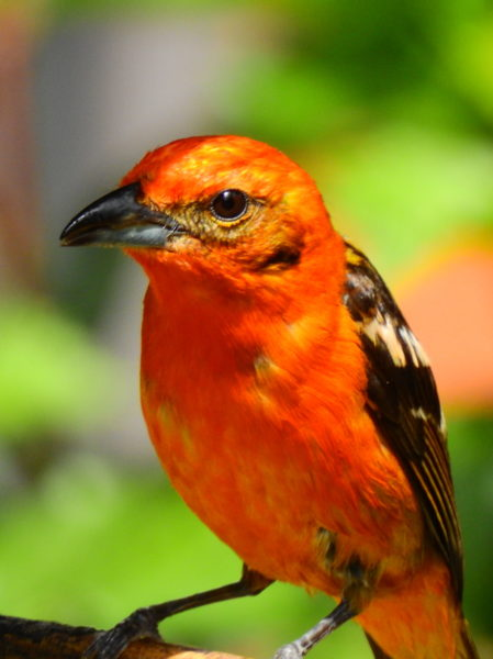 The flame-colored tanager (Piranga bidentata)