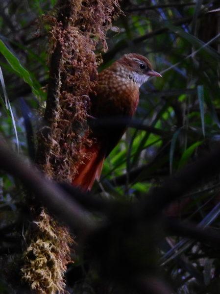 ruddy treerunner (Margarornis rubiginosus)