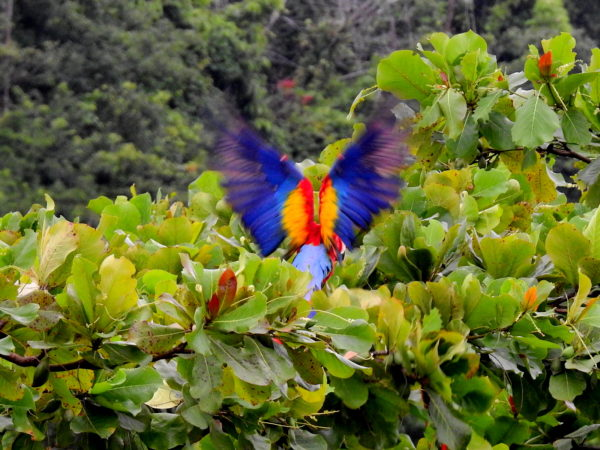 Scarlet Macaw landing in an almendro tree