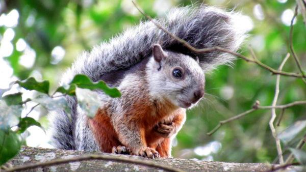 pledge allegiance squirrel