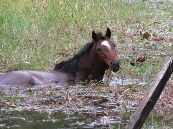 swamp horse