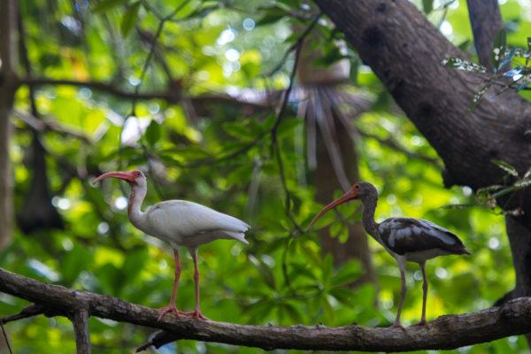 An adult and juvenile American white ibis (Eudocimus albus)