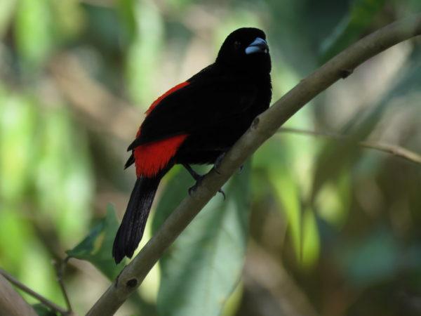 Cherrie's tanager (Ramphocelus passerinii costaricensis)