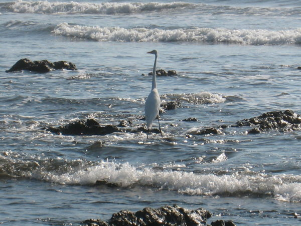 Great egret in the surf