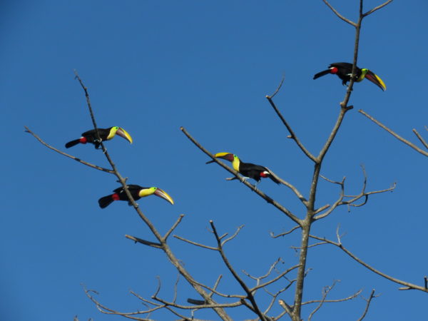 chestnut-mandibled toucan or Swainson's toucan (Ramphastos ambiguus swainsonii)