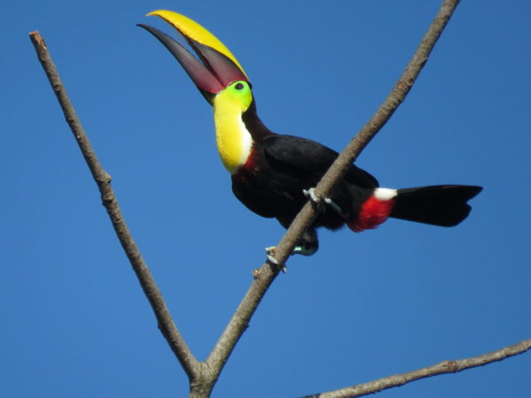 Swainson's (Ramphastos ambiguus swainsonii) toucan