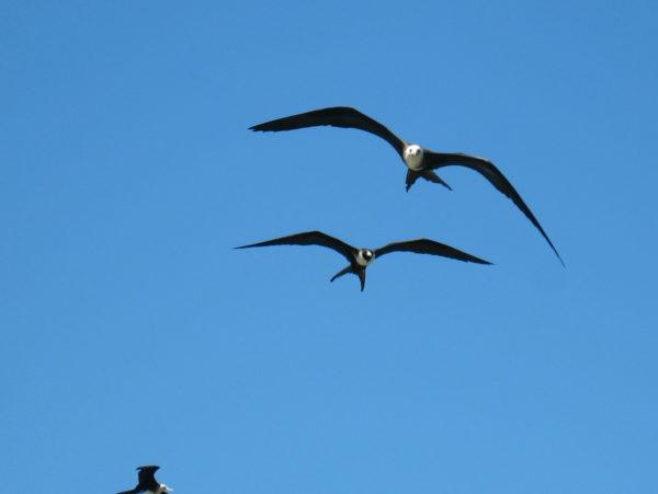 Frigate birds Bahía Junquillal