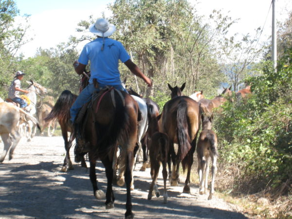 Herding the horses Hacienda Guachipelin