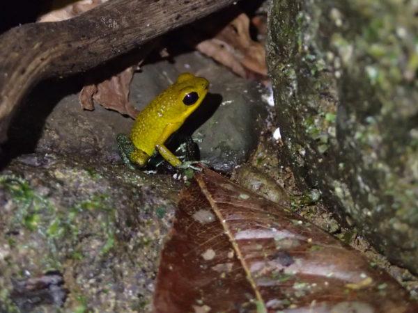 endangered green granular poison frog