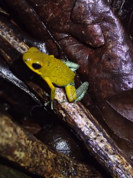 endangered green granular poison frog
