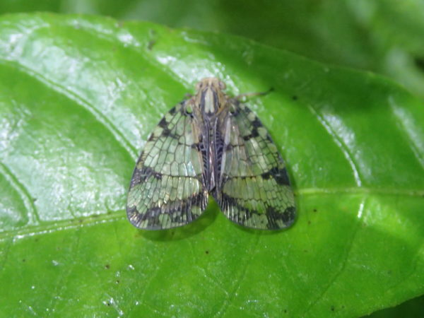 Clear wing moth