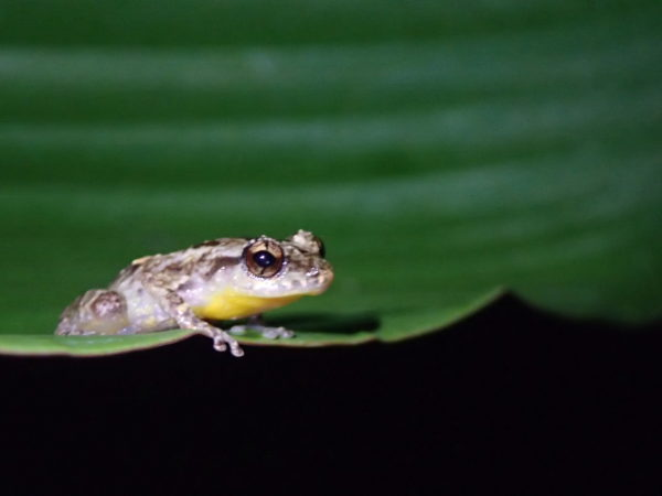 white, black and yellow throat tree frog