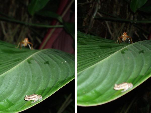 grasshopper stalking a rain forest frog