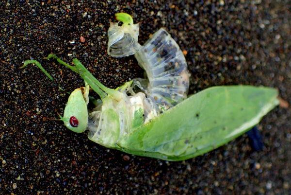 Katydid corpse