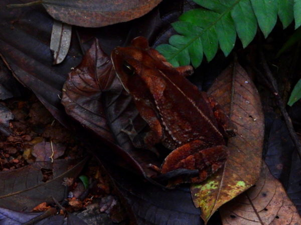 rainforest leaf litter frog