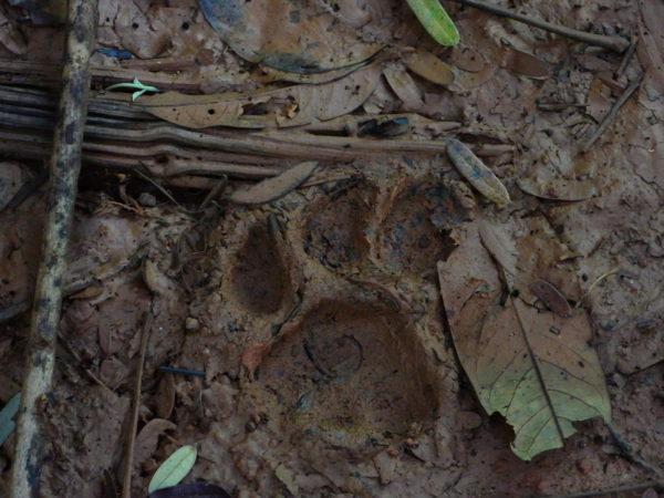 Puma Footprint Costa Rica