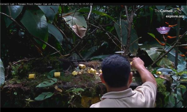Cornell ornithology panama live stream bird feeder