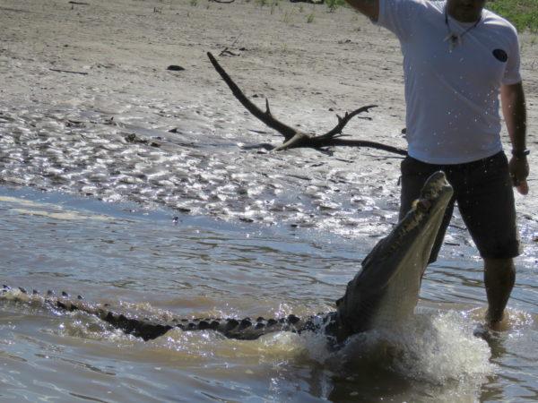 Feeding crocodiles by hand