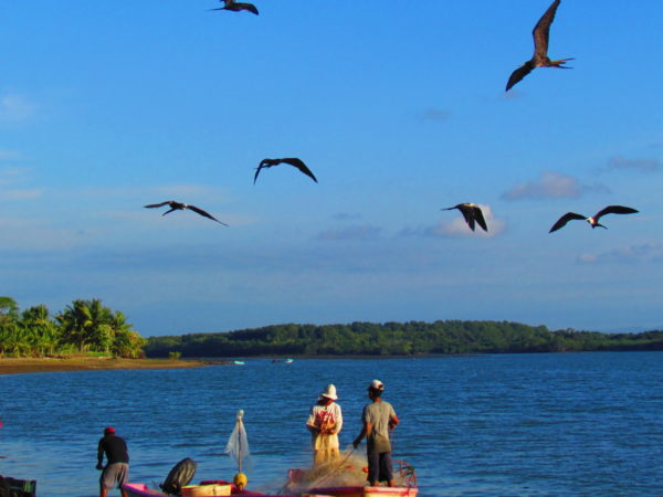 Frigate birds waiting for guts