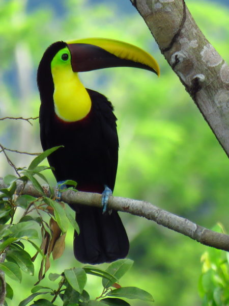 chestnut mandible toucan (Ramphastos ambiguus swainsonii)