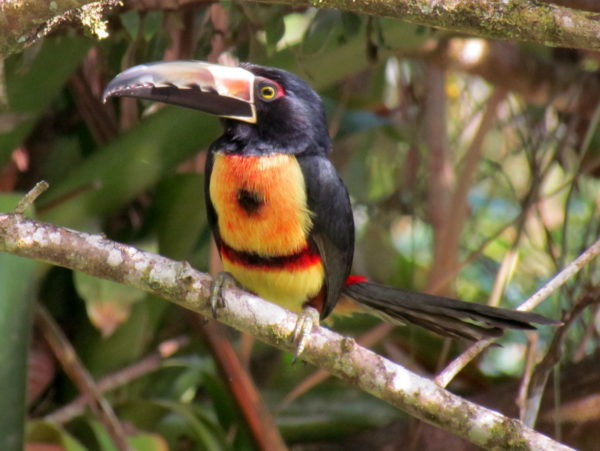 Collard Aracari Pteroglossus torquatus
