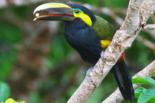 Yellow eared toucanet male