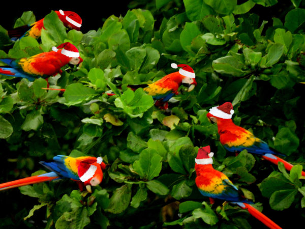 macaws with santa hats